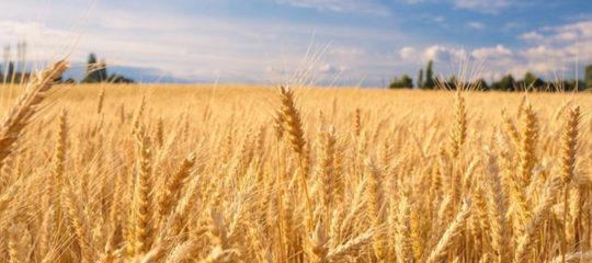Catégories du blé