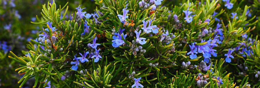 plantes authentiques du sud de la France